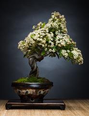 Workshop de bonsai